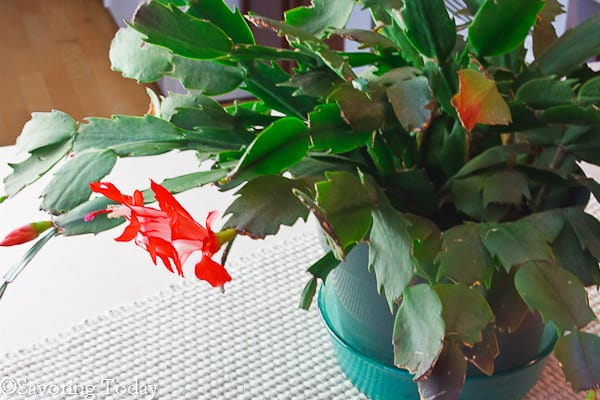 IMK - Christmas Cactus (1 of 1)