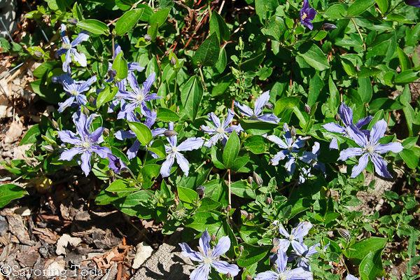Flower Garden - Clematis (1 of 1)
