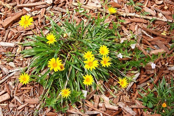 Flower Garden -- Gazania - Colorado Gold (1 of 1)