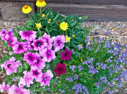 Flower Garden - Pink Petunias (1 of 1)
