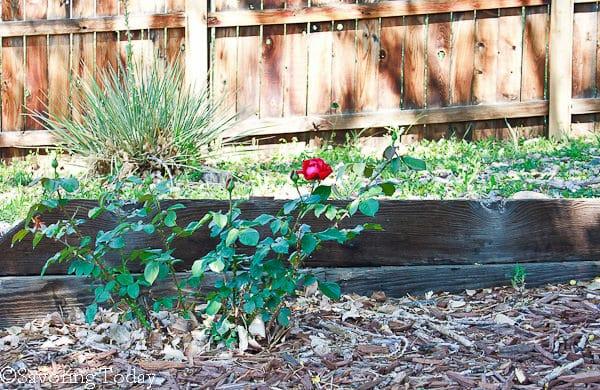 Flower Garden - Red Rose (1 of 1)