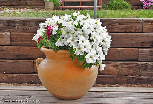 Flower Garden - White Petunias (1 of 1)