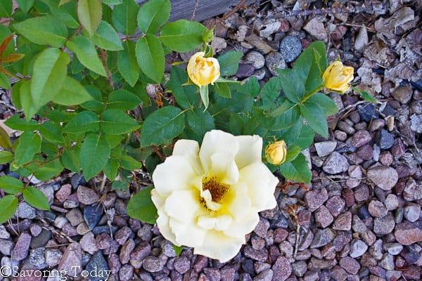 Flower Garden - Yellow Rose (1 of 1)